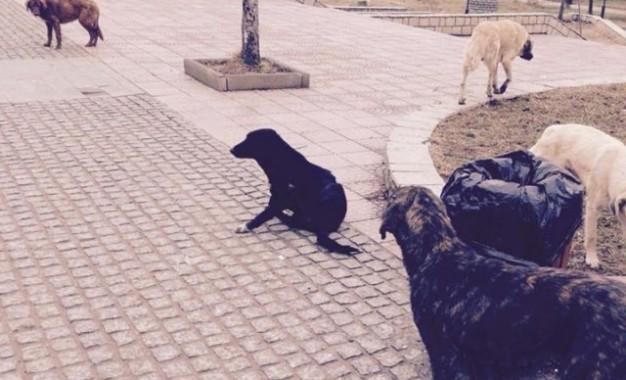 Skenderaj, qentë endacak mëpër sheshin e qytetit, rrezik për qytetarët